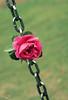 [10/10] (عفاف المعيوف) Tags: flower وردة ورود زهرة وردي زهور جوري سلسلة
