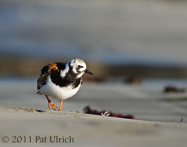 Ruddy turnstone in summer colors - Pat Ulrich Wildlife Photography