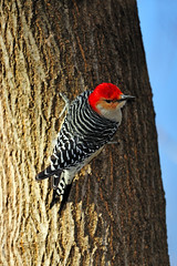 Red-Bellied Woodpecker (Brian E Kushner) Tags: red male bird birds animals newjersey backyard woodpecker nikon wildlife nj belly f4 bellied redbellied audubon melanerpescarolinus birdwatcher backyardbirds 600mm nikor d3x maleredbelliedwoodpecker afsnikkor600mmf4gedvr nikond3x audubonnj bkushner brianekushner nikon600mmf4afsvr
