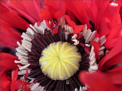 Naughty Nineties Poppy, close up