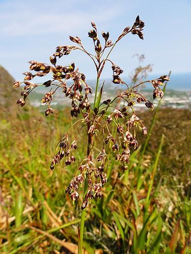 Cave Hill Grass