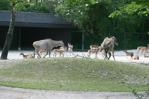 Nilgau- & Hirschziegen-Antilopen