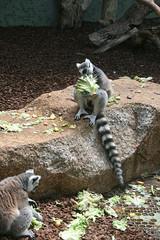 Fressende Lemuren