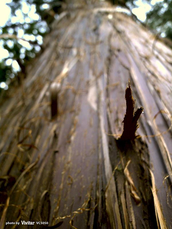 めくれる木の皮|長命寺