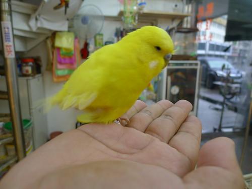 萬華鳥街-黃化大頭