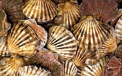 Scallops in the Fish Market