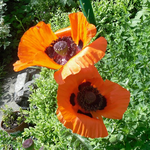 a collapsing poppy