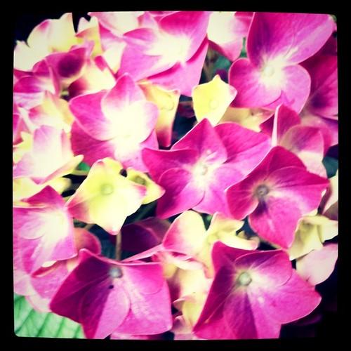 10年以上前の母の日に送った紫陽花。自宅の庭に移植した奴