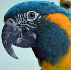 Beautiful Tessa (RLBrinkman~in and out-mostly out) Tags: birds pars parrots parrotsr4ever