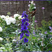 Blue and white summer border