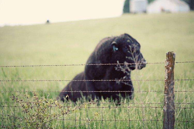06-14-cow1