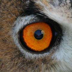 Magnetic eye (giansacca) Tags: birds animals aves uccelli animaux animali vogel oiseaux uhu eurasianeagleowl bubobubo rapace bhoreal grandducdeurope hibougrandduc guforeale nikonflickraward mygearandme mygearandmepremium mygearandmebronze mygearandmesilver mygearandmegold