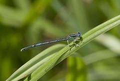 White-legged Damselfly (Sergey Yeliseev) Tags: whiteleggeddamselfly platycnemispennipes