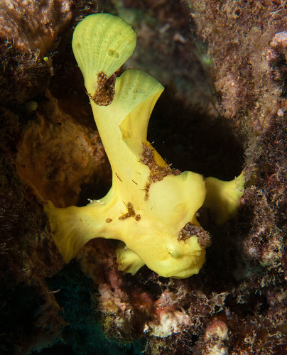Commerson's Frogfish (juvenile)