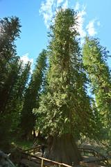 Giant Western Red Cedar