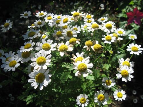 Flower feverfew