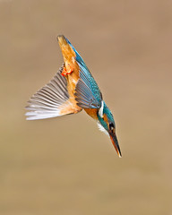 Dive 2 (Andrew Haynes Wildlife Images) Tags: bird dive kingfisher worcestershire ajh2008 canon1dmkiv