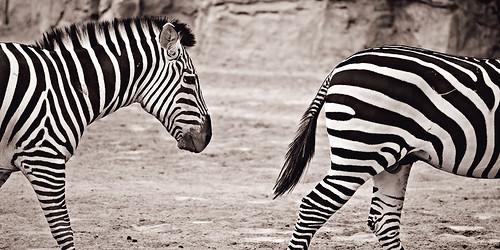 Cebras-2
