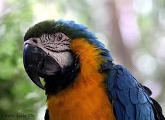9-18-16 (269) Macaw Portrait (KatieKal) Tags: macaw portrait blue yellow feathers beak macro canon60d canon70300mmlens bokeh