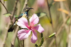 Young male Variable Sunbird (Cinnyris venustus) gaining breeding plumage perched on a hibiscus flower (Dave Montreuil) Tags: africa cinnyris sunbird african animal bird breeding changing east flower hibiscus malawi malevariable perched pink plumage south sun venustus young