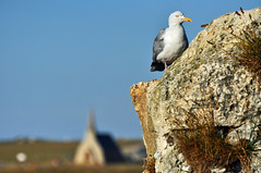 spalle alla chiesa (ceszij) Tags: france francia normandie normandia etretat scogliere falesie acantilado gabbiano seagull oceanoatlantico atlanticocean rock