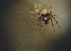 (Blockshadows) Tags: seasons fall autumn wildlife outdoors nature backyard 100mm 100mmmacro markiv 5dmark4 canon legs moody scary muted web closeup bug macrophotography macro insect spider