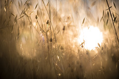 Early morning sun seen through dry tall grasses (tibchris) Tags: sun greass bokeh nature yellow dry sunrise hiking beauty simplicity tallgrasses california outdoor abstract