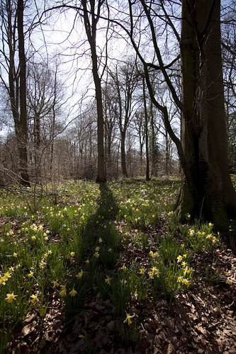 Wild Daffodils (Narcissus pseudonarcissus) and Sessile Oaks (Quercus petraea)