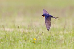Welcome Swallow (Callocephalon Photography) Tags: bird australia tasmania swallow bif grassy mkiv hirundine welcomeswallow passerine hirundoneoxena mountfieldnp