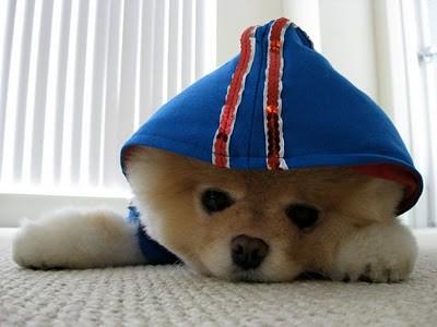 boo_Pomeranian_Dog_33