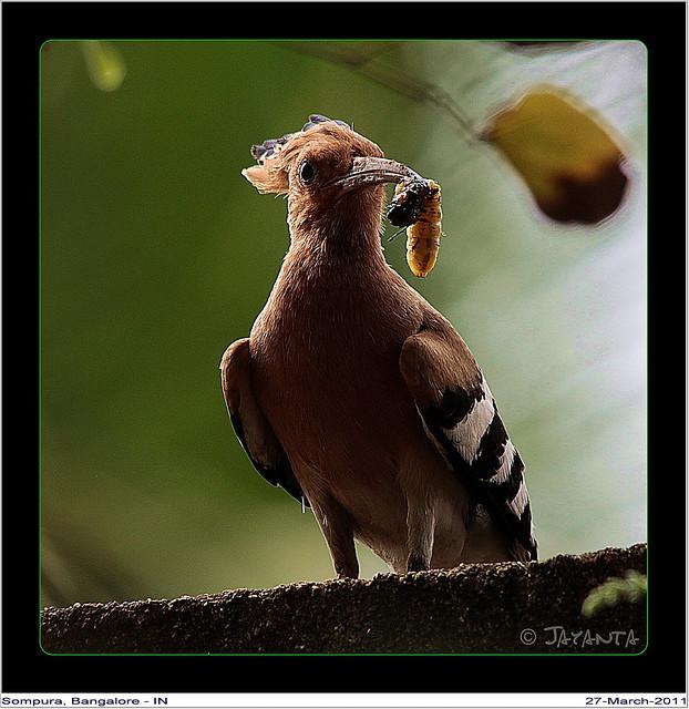 Hoopoe with it's prey..