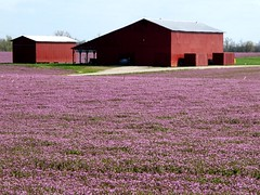 purple carpet (frankieleon) Tags: flowers red color field barn interestingness spring interesting bestof purple kentucky country cc creativecommons popular consumerist frankieleon