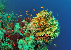 "Fairy Basslets, Parrotfish and coral (gillybooze (David)) Tags: fish coral underwater redsea fisheyelens sunkentreasureaward ""flickraward"" madaleundewaterimages ""flickrtravelaward"" vigilantphotographersunite vpu2 vpu3 vpu4 vpu5 vpu6 vpu7"