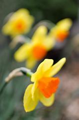 daffodils (heathre) Tags: flowers spring daffodils blartsy