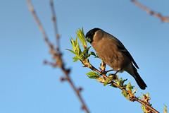 Hungry Bullfinch. (stonefaction) Tags: nature birds scotland angus wildlife loch bullfinch balgavies