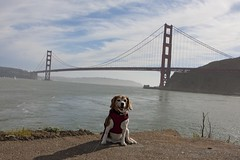 the beagle and the bridge (gjacobs228) Tags: sf sanfrancisco dog beagle goldengatebridge kensington ggb kensi