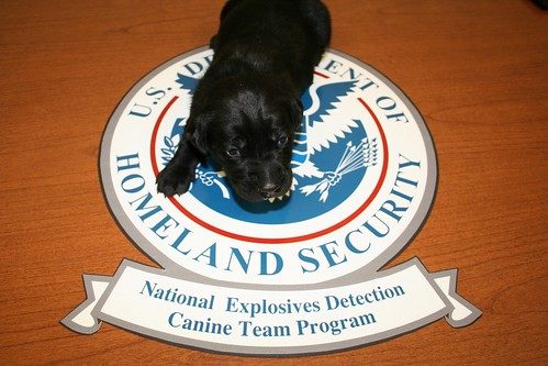 Pup intended to be trained for TSA bomb detection