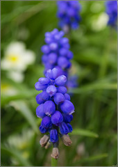 Photo of More Muscari Latifolium and not a model in sight