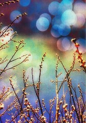 Willow Magic (Maureclaire) Tags: tree bokeh magic willow textured pussywillow salix alteredimages manipulatedphotos texturized salixdiscolor grandmotherwillow