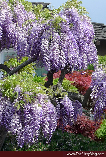 blooming-purple-wisteria-spring