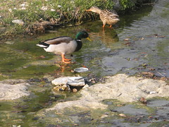 foraging mallards