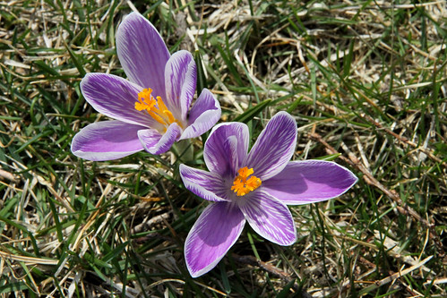 crocus_south