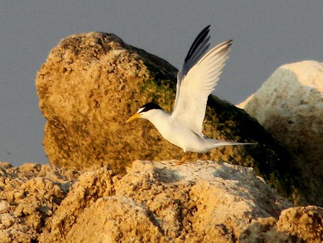 Least Tern 20110412