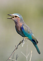 Lilac Breasted Roller, Ruaha National Park