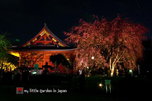 Sakura-in-Tokyo-8
