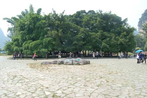 Ein riesiger banyan baum (ficus benghalesis) in der Nähe von Yangshou am li fluss