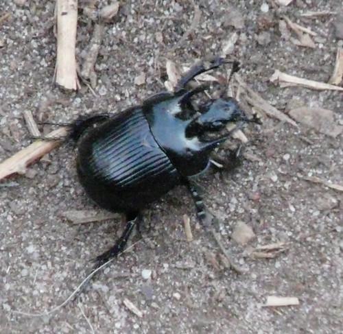 Minotaur Beetle (Typhaeus typhoeus) by Peter Orchard