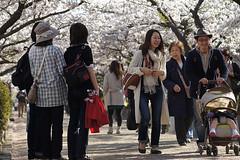 Cherry blossoms in full bloom in Dankazura, Kamakura (Tokyo Views) Tags: family people flower tree japan spring kamakura sakura cherryblossoms kanagawa japon hachimangu hanami tsurugaoka
