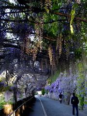 purple tunnel (overthemoon) Tags: morning woman sunlight schweiz switzerland spring purple suisse path svizzera wisteria vevey vaud glycines romandie chemindelespérance utata:color=black utata:project=tw260