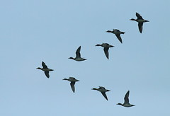 Return migration. . . . . Tangua Haor. . . . . . 10 (Sanjeed (NatureLover)) Tags: canon excellent jps naturelover blr eos50d ef400mmf56l bdphtgrphrs naturephtgrphy